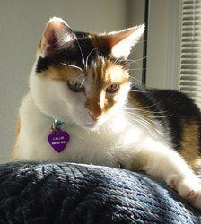 Callie-Mixed-Breed-Cat