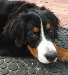 Khal Drogo - Bernese Mountain Dog