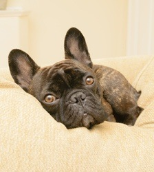 Muggsy - French Bulldog