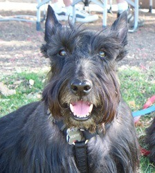 Murphy - Scottish Terrier