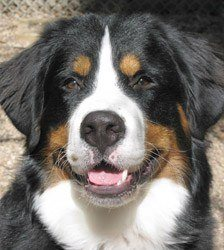 Neil-Bernese-Mountain-Dog