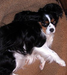 Penny-Cavalier-King-Charles-Spaniel