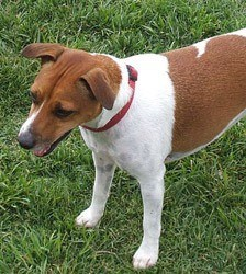 Shayna-Jack-Russell-Terrier