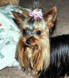 Tinky-Yorkshire-Terrier