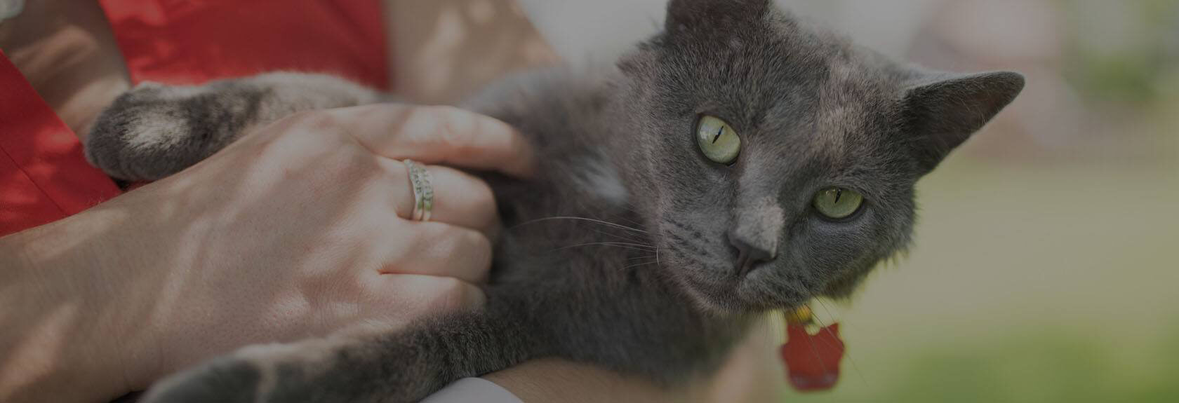 Gray cat held by woman
