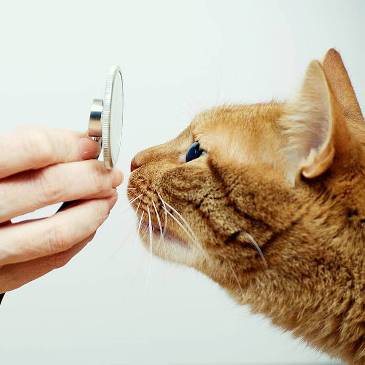 Orange cat with stethoscope