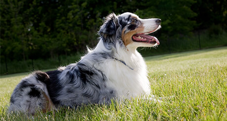 Australian Shepherd laying in the grass