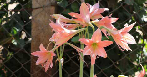 Lilies Toxic for Dogs and Cats