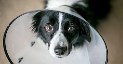 border collie in a cone after neuter surgery
