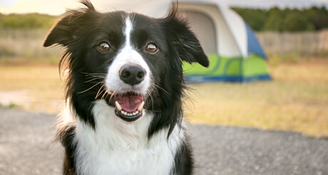 Border Collie Health Insurance | Embrace