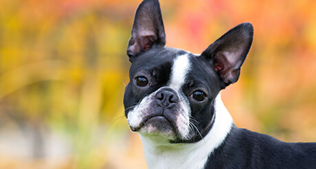 Boston-Terrier-looking-at-camera