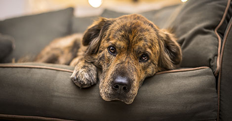 brindle dog on couch