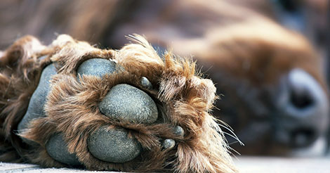 Brown dog's paw pad and nails