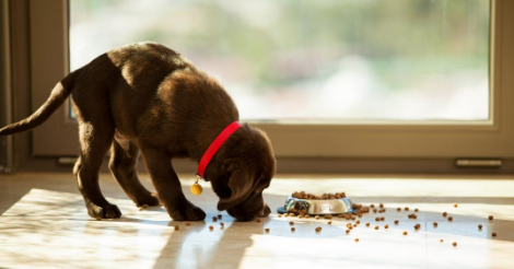 brown lab puppy eating kibble