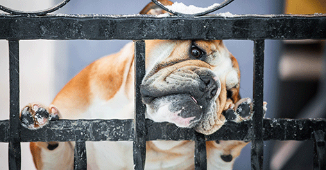 bulldog with head on fence