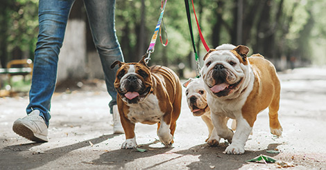 bulldogs walking on leash