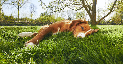 calm dog lying in the grass