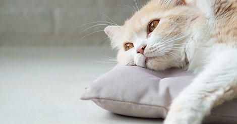 Eleven Things to Know About Cats with Kidney Failure