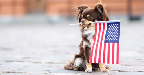 chihuahua-holding-flag-in-mouth