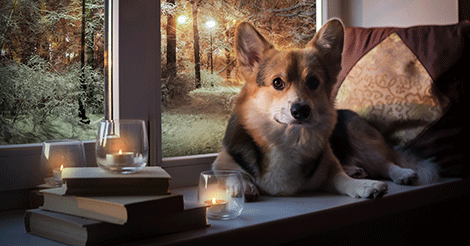 corgi sitting by window with lit candles