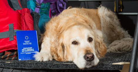 Golden Retriever in car for emergency evacuation