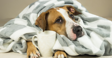 dog laying under blanket with mug between hands