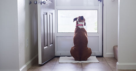 dog looking out the open front door