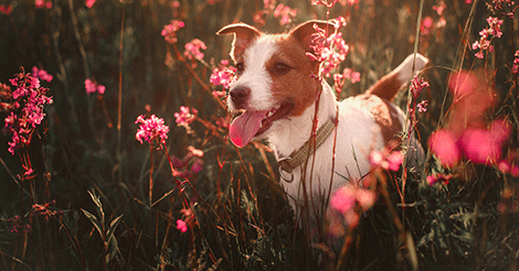 dog running in spring flowers