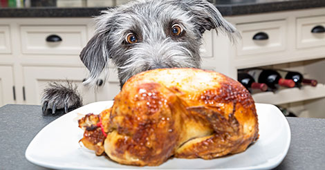 dog staring at cooked turkey