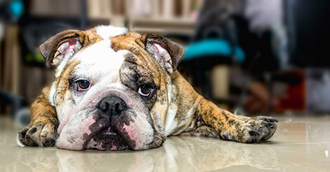 English Bulldog Facts