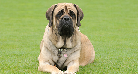 Best Big Dogs >> 3 Best Big Dog Breeds For Apartments