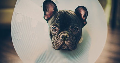 french bulldog puppy in a cone
