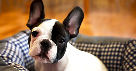 6 Fun Facts You Probably Didn't Know About French Bulldogs