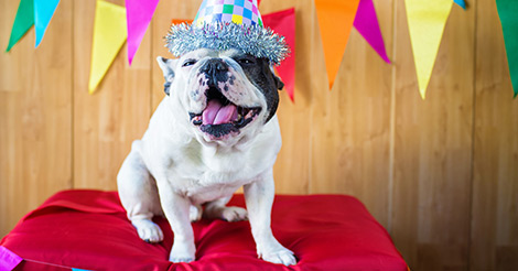 French Bulldog birthday party