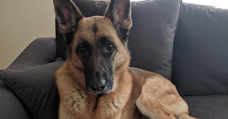German Shepherd after CCL surgery left her with an infection