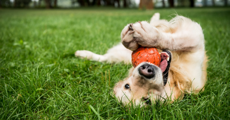 golden retriever playing with ball on lawn