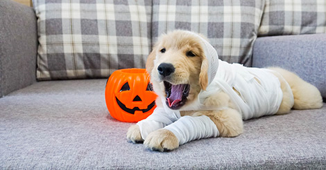 Golden Retriever puppy dressed as a mummy