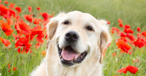 golden retriever sitting in field with red flowers