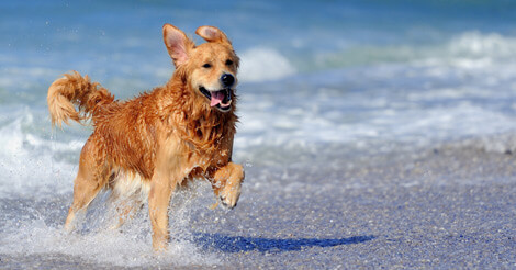 6 Fun Facts You Probably Didn't Know about Golden Retrievers