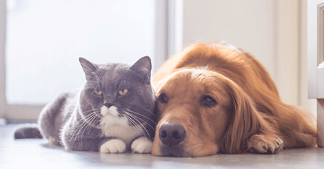 gray cat and golden retriever laying together