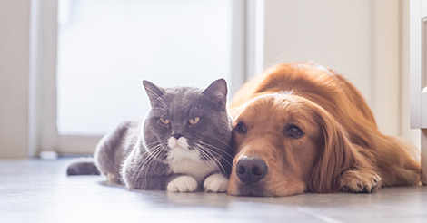 gray cat and Golden Retriever