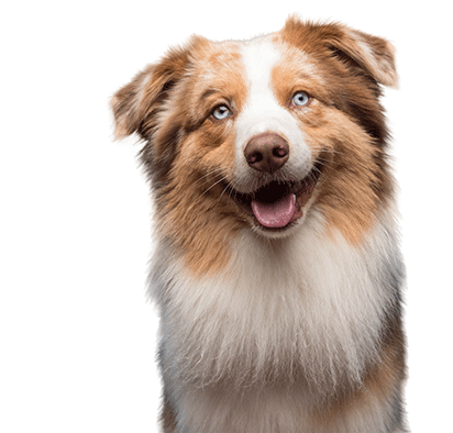 happy australian shepherd