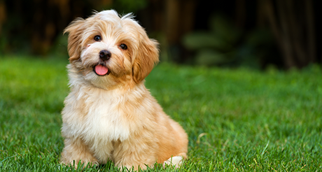 Havanese playing and smiling