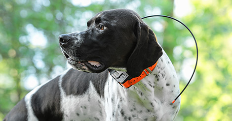 hunting dog wearing tracking collar