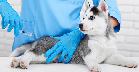 Husky puppy getting a shot