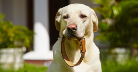 lab holding collar in mouth