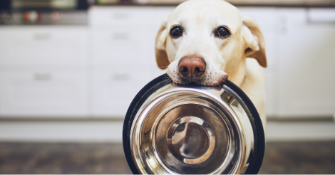 lab holding food dish in mouth