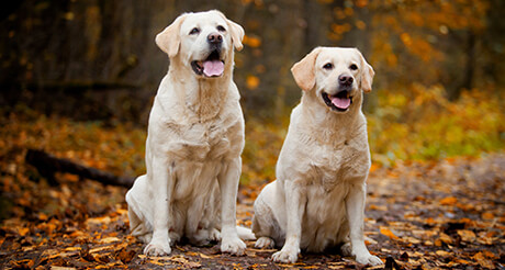 Labrador Retrievers Embrace Pet Insurance