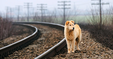 lost dog by railroad tracks