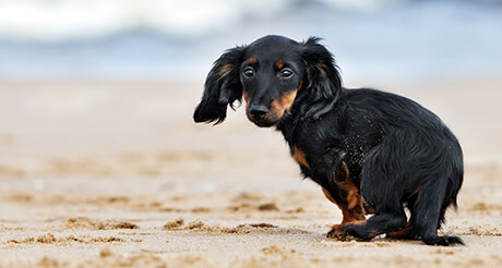 Miniature Dachshund on beach